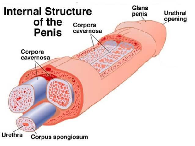 Penis Anatomy 101
